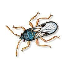 chinch bugs lawn pests