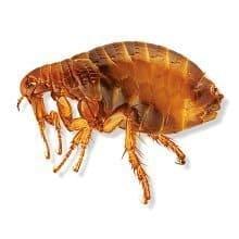 fleas lawn pests