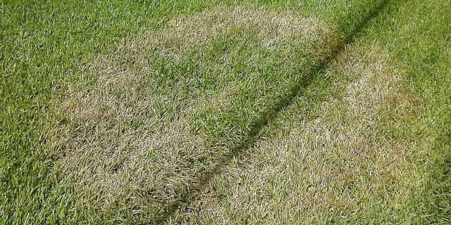 brown patch lawn disease picture