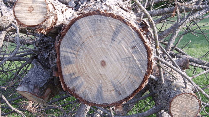 cut tree showing wilt pine disease