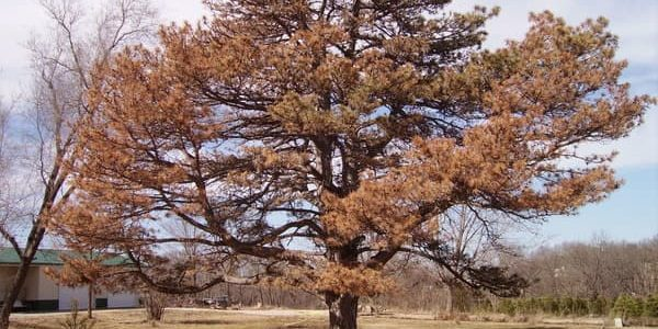 austrian pine turned brown due to wilt pine disease