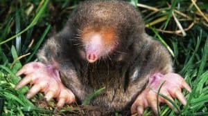 mole in lawn coming up