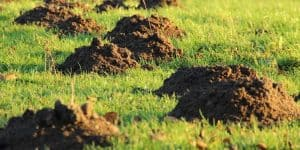 How to Get Rid of Moles in Your Lawn