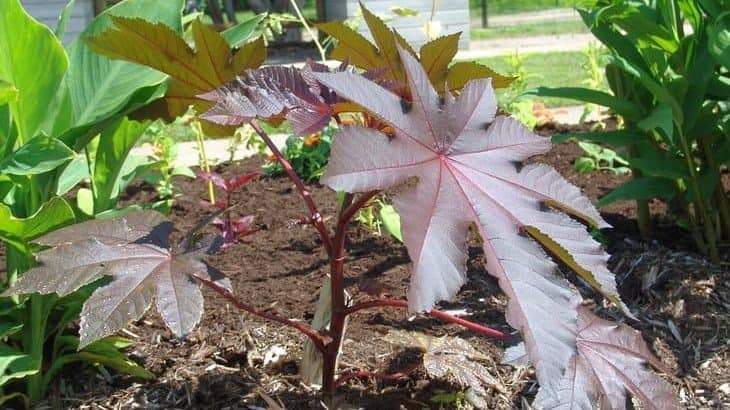 ricinus communis or castor bean plant repels moles in garden and lawn