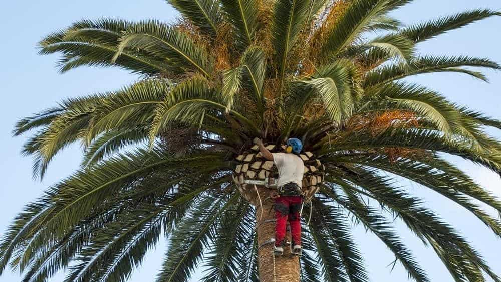 how to prune a palm tree
