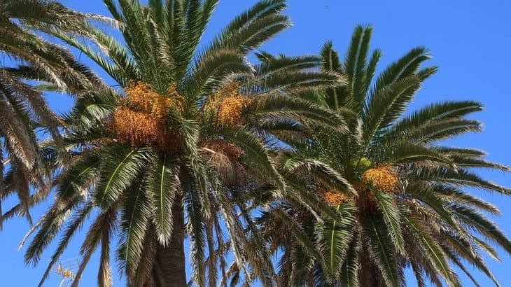 how to prune a palm tree featured