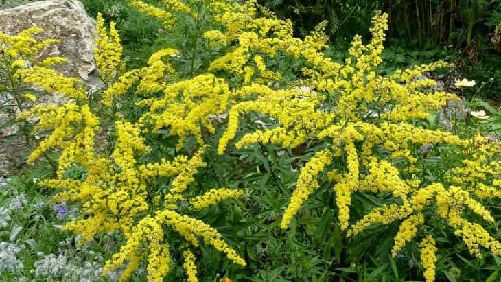 citronella - insect repelling plants