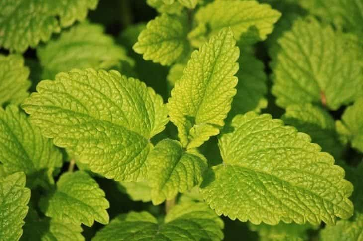 lemon balm - insect repelling plants