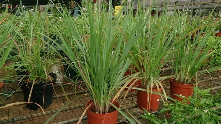 lemon grass - insect repelling plants