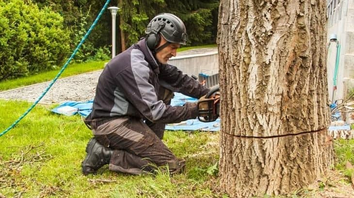 felling a tree and making the back cut