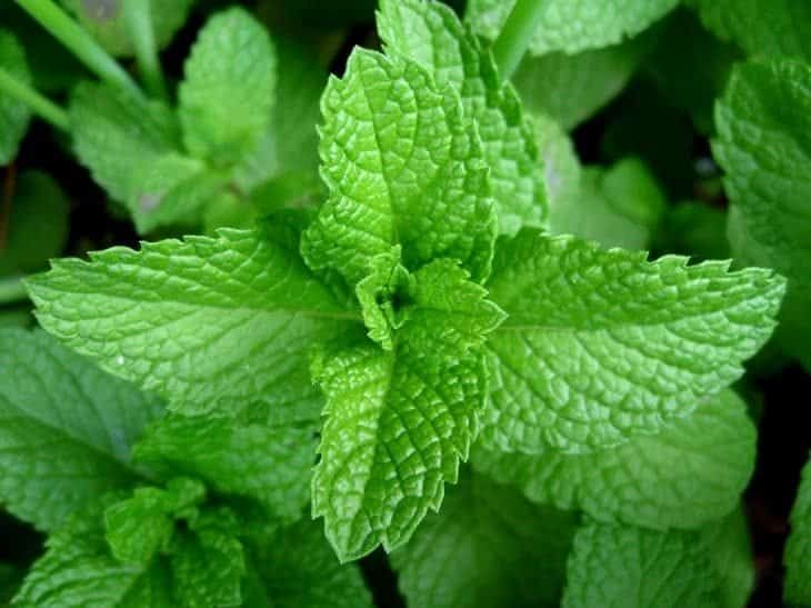 mint - insect repelling plants