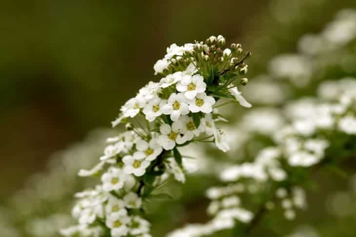 alyssum-can-attract-butterflies