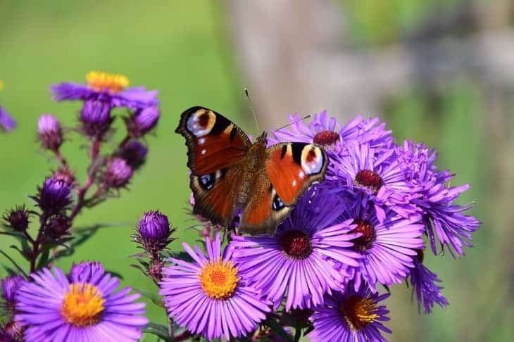 aster-can-attract-butterflies