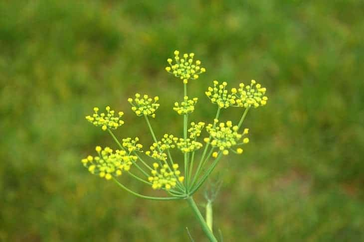 fennel-can-attract-butterflies