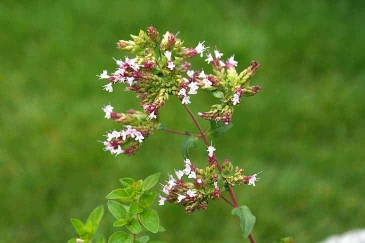 oregano-can-attract-butterflies