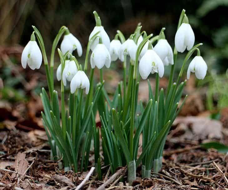 galanthus nivalis - snowdrop