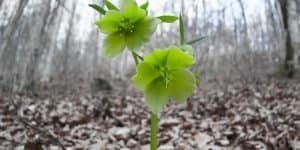 hellebores in forest
