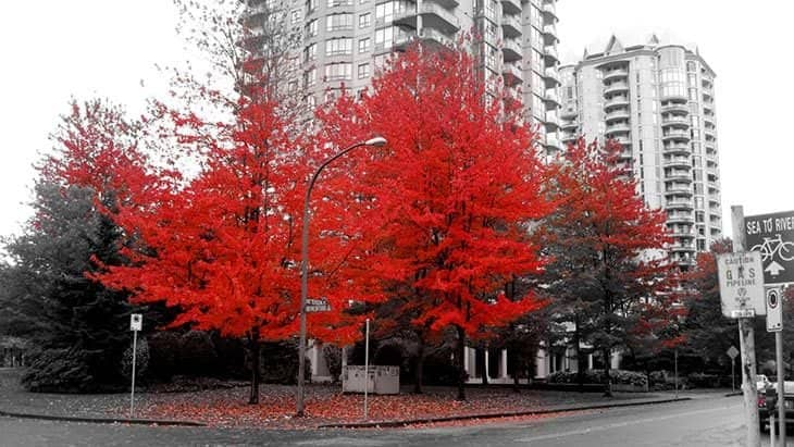 japanese maple tree - acer japonica