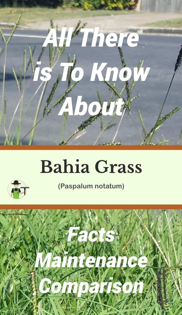 bahia grass pinterest