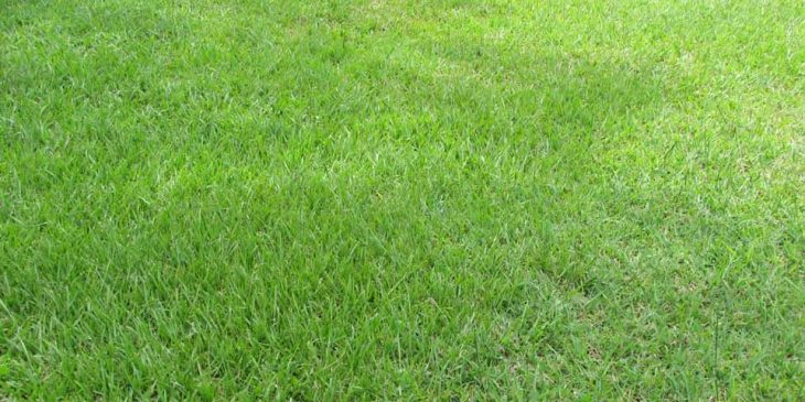 Bahia Grass - Paspalum notatum