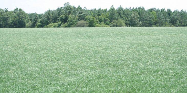 bahia grass lawn featured
