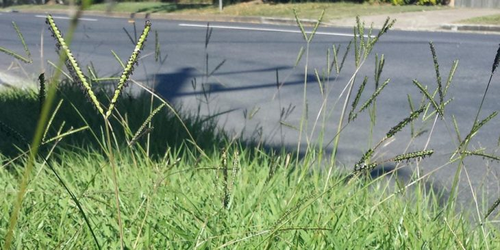 bahia grass weed