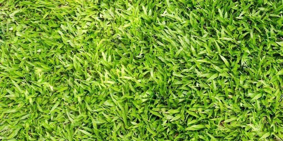Centipede grass - Eremochloa ophiuroides