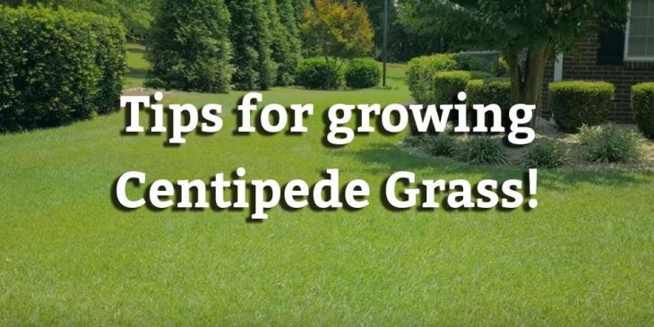 centipede grass maintenance tips