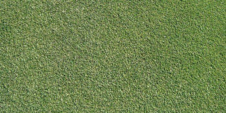 Creeping Bentgrass - Agrostis stolonifera