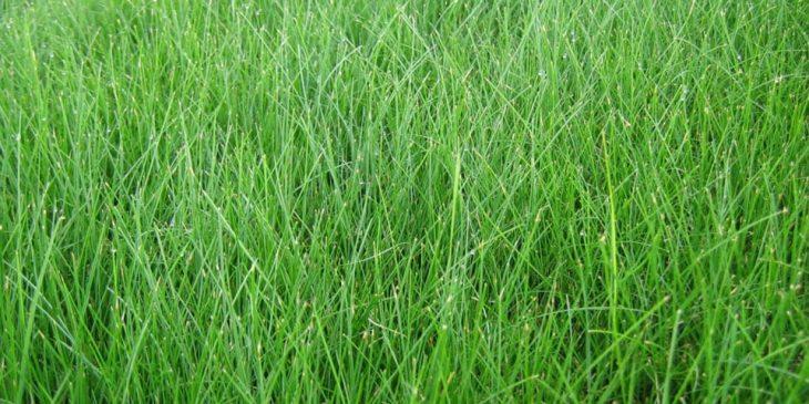 Fine Fescue Grass - Lolium arundinaceum
