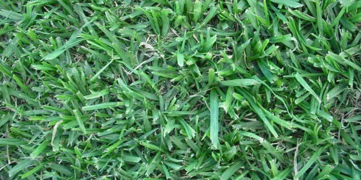 Pennisetum clandestinum - kikuyu grass