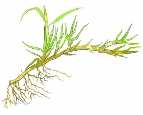 Pennisetum clandestinum - kikuyu grass illustration