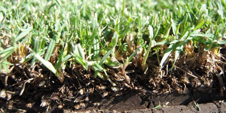 Pennisetum clandestinum - kikuyu grass soil needs