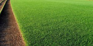 Perennial Rye Grass - Lolium perenne