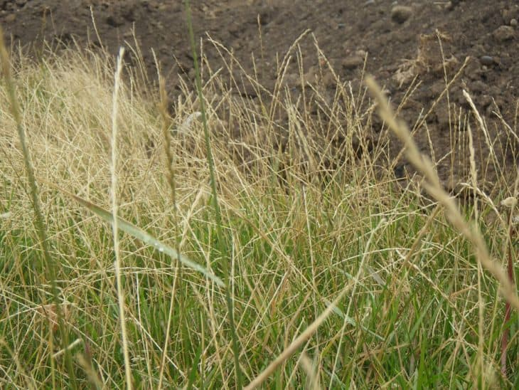 perennial ryegrass lolium perenne overgrown