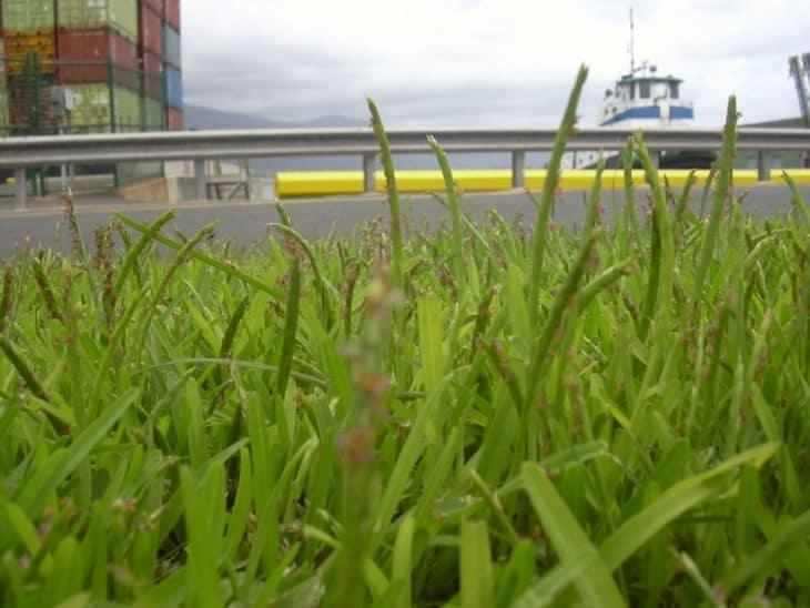 st augustine grass compared