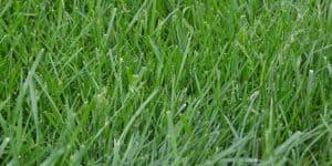Tall Fescue grass - Festuca arundinacea
