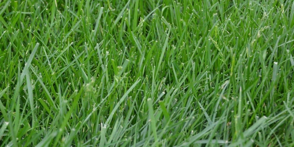 Tall Fescue Gr Facts Maintenance