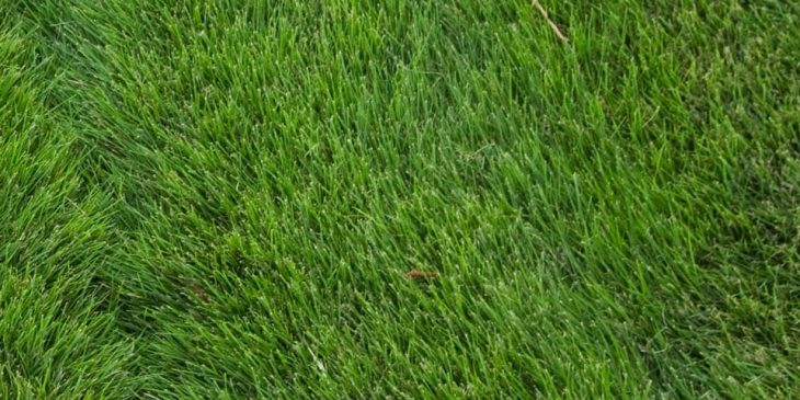 zoysia grass - Zoysia japonica