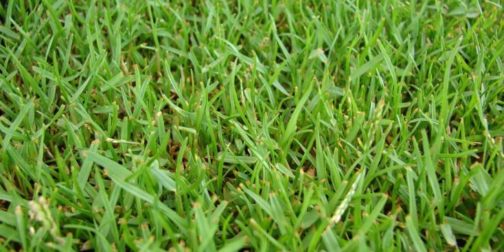 zoysia grass hawaii
