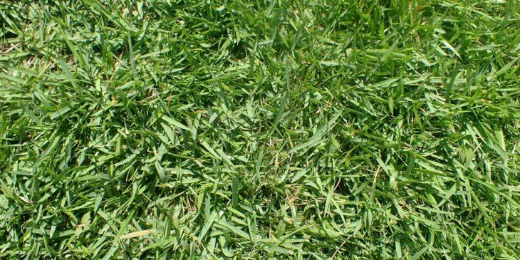 zoysia grass type japonica compadre