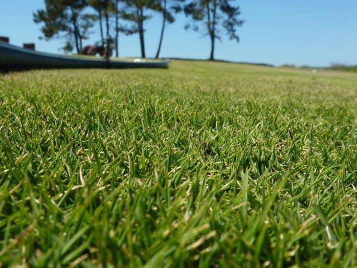 zoysia tenuifolia grass