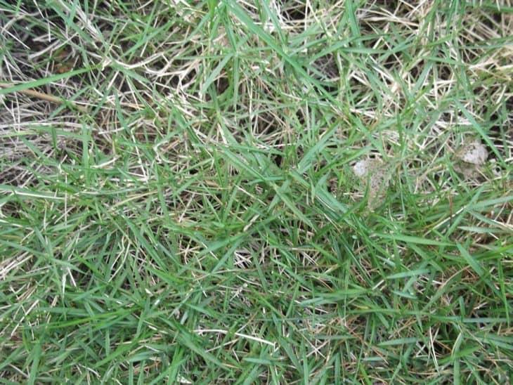 zoysia grass thatch