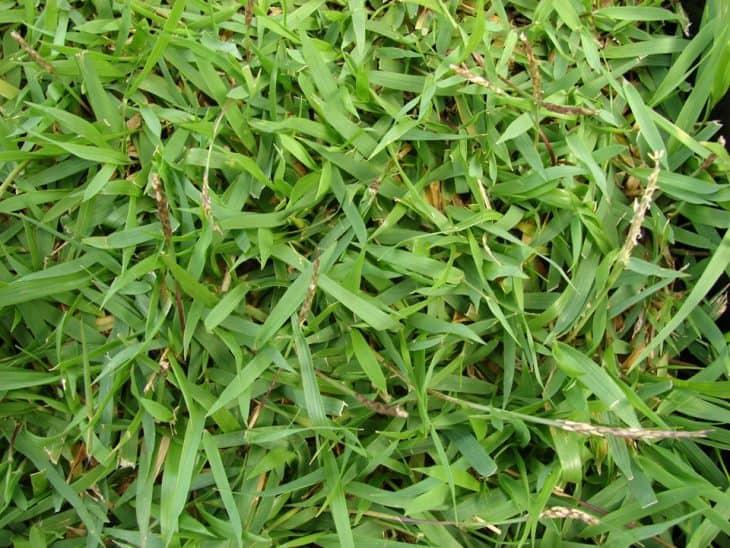 zoysia grass close up