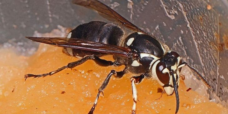 types of wasps: Bald-Faced Hornet (Dolichovespula Maculata)