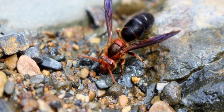 types of wasps: Black-Bellied Hornet (Vespa Basalis)