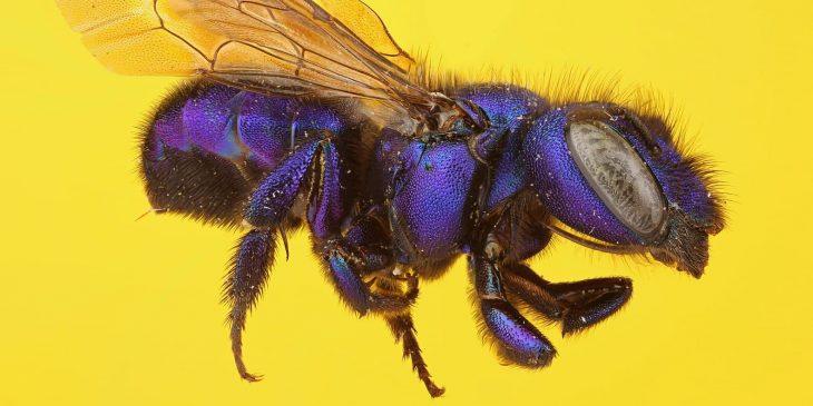Blueberry Bee (Habropoda Laboriosa)