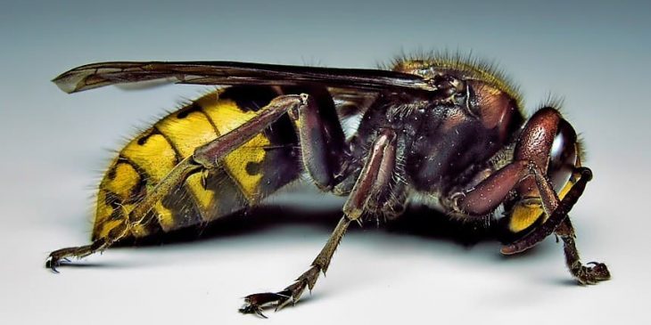 types of wasps: European Hornet (Vespa Crabro)