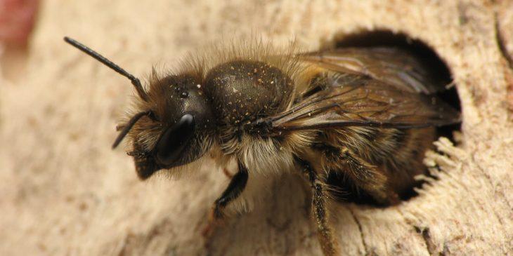 Horn-Faced Bee (Osmia Cornifrons)