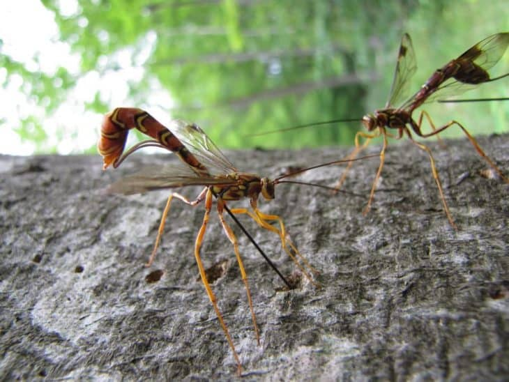 types of wasps: Ichneumon Wasps